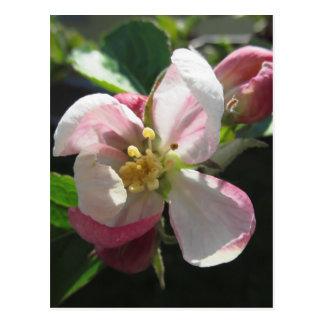 Pink apple blossoms postcard