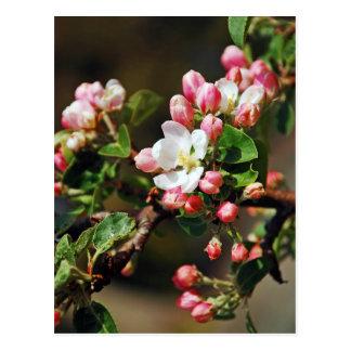 Pink apple blossoms print postcard