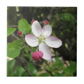 Pink apple flower in spring . Tuscany, Italy Ceramic Tile