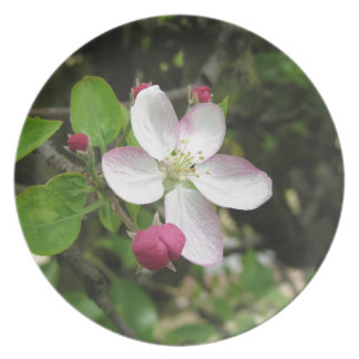 Pink apple flower in spring . Tuscany, Italy Plate