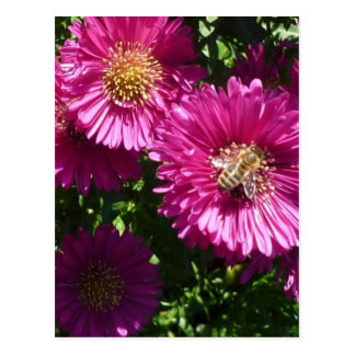 Pink aster - Postcard