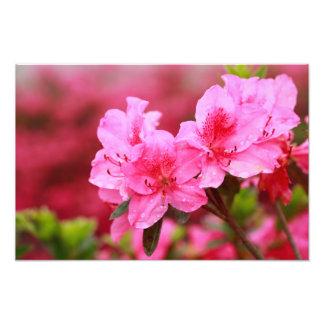 Pink Azaleas Photographic Print