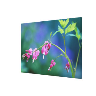 Pink bleeding hearts in garden. Credit as: Stretched Canvas Print