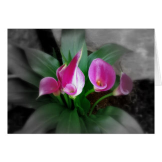 Pink Calla Lilies Greeting Card