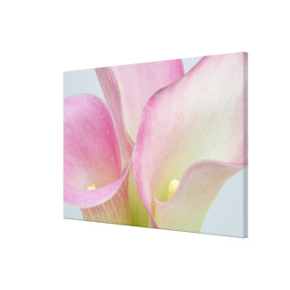 Pink Calla Lilies Stretched Canvas Print