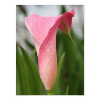 Pink Calla lily Photo