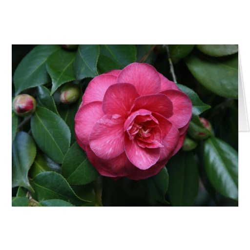 """""""Pink Camellia # 1"""" Greeting Cards"""