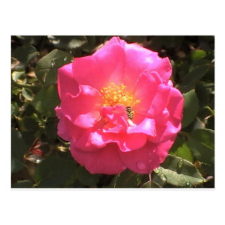 Pink Camellia and bee Postcard