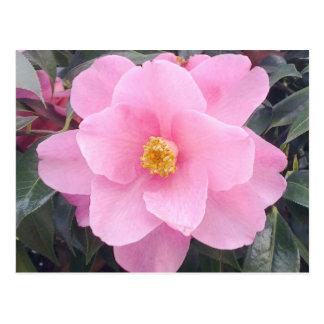 Pink Camellia Flower Postcard