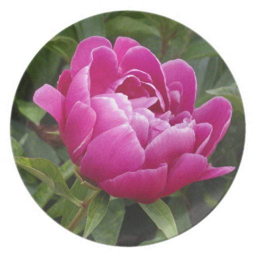 Pink Camellia Plate