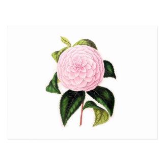Pink Camellia Postcards