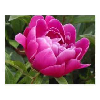 Pink Camellia Postcard