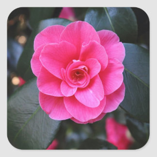 Pink Camellia Square Sticker