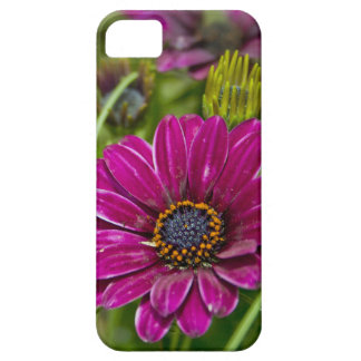 Pink Cape Daisy Flower iPhone 5 Cases