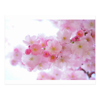 Pink Cherry Blossom Postcard