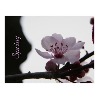 Pink Cherry Blossom Poster