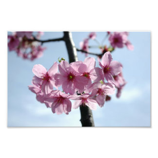 Pink cherry blossoms and light-blue sky photo print