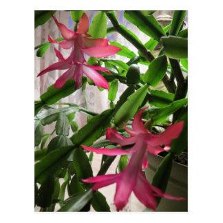 Pink Christmas Cactus Flowers Postcard