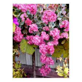 Pink Cliff Stonecrop Postcard
