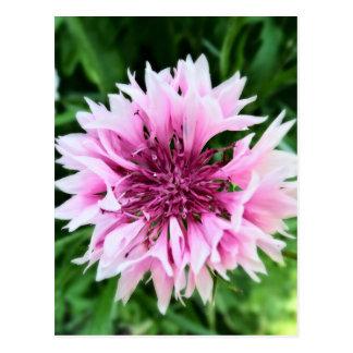 Pink cornflower postcard