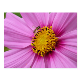 Pink Cosmos and Bee Floral Postcard