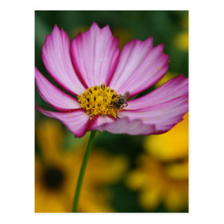 Pink Cosmos and Black Eyed Susans Postcard