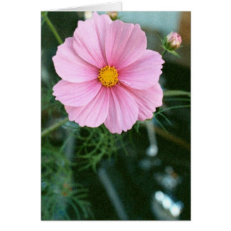 Pink Cosmos and Sportster Greeting Card