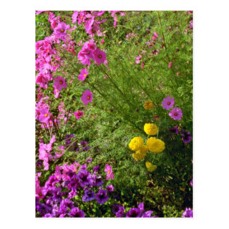 Pink Cosmos And Yellow Mums flowers Post Cards