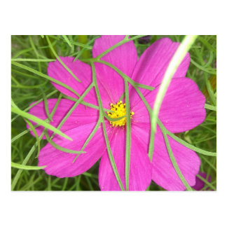 Pink Cosmos Flower Hiding Postcard