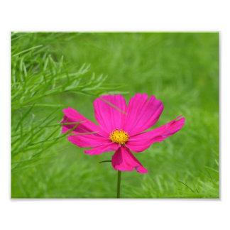 Pink Cosmos Flower Photo Print