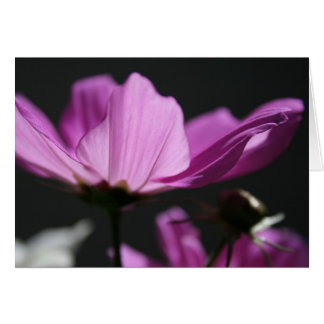 Pink Cosmos in the Sun 2 Floral Photography Card