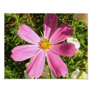 Pink Cosmos Photo Print