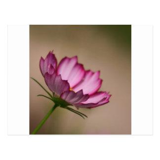 Pink cosmos picote Blossom Postcard