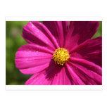 Pink Cosmos Postcard