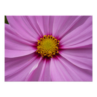 Pink Cosmos Pretty Wildflower Photography Poster