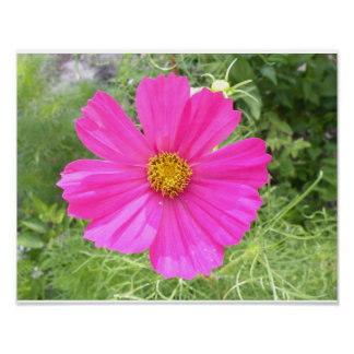 Pink Cosmos Wall Art Poster