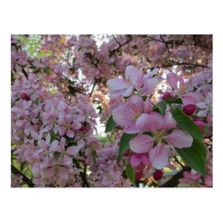 Pink Crab Apple Tree Flowers Postcard