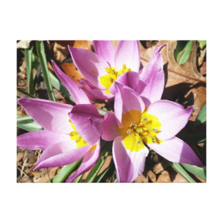 Pink Crocuses Early Spring Floral Canvas Print