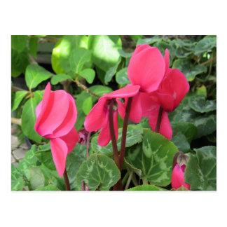 Pink Cyclamen Flowers Postcard