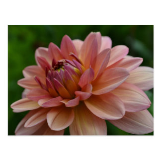 Pink Dahlia Flower Postcard