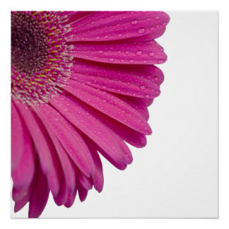 Pink daisy flower with water drops beautiful photo poster