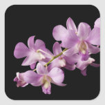 Pink Dendrobium Orchid Flower on Black - Orchids