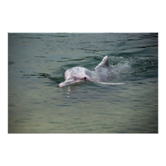 pink dolphin poster