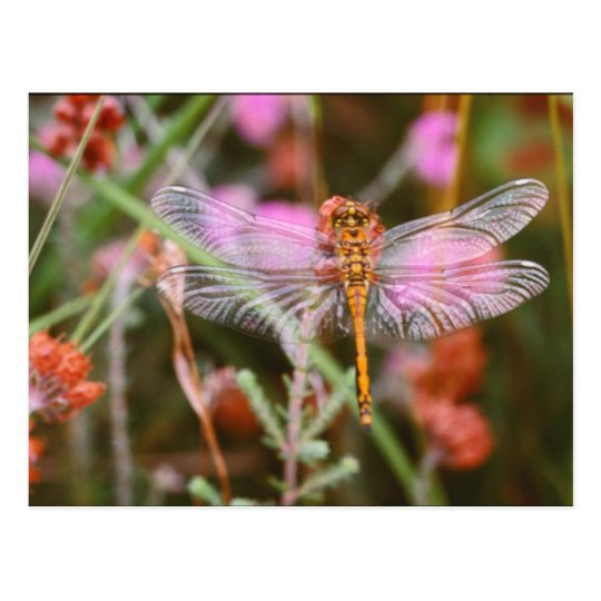 Pink Dragonfly on Flowers Postcard