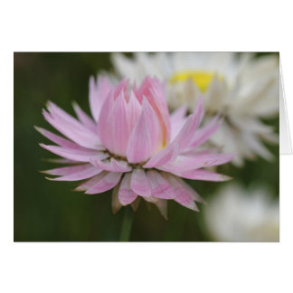 Pink Everlasting Daisy Card