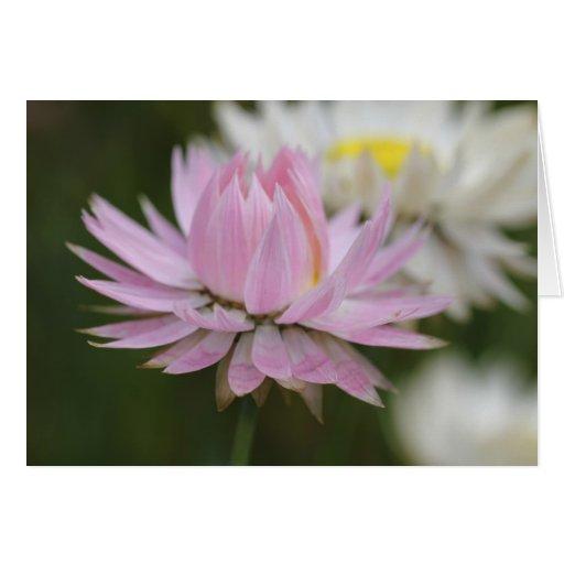 Pink Everlasting Daisy Card