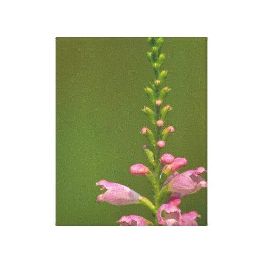 Pink False Dragonhead Flower Canvas Prints