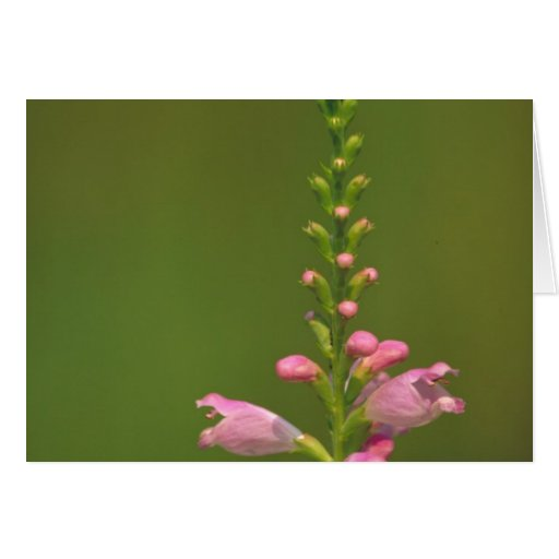 Pink False Dragonhead Flower Greeting Card