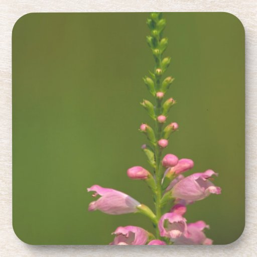 Pink False Dragonhead Flower Coaster