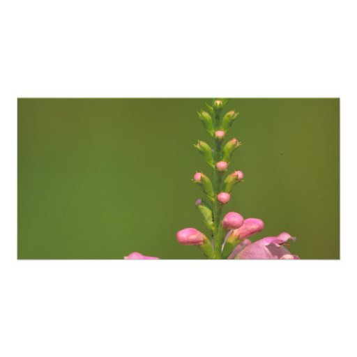 Pink False Dragonhead Flower Customized Photo Card